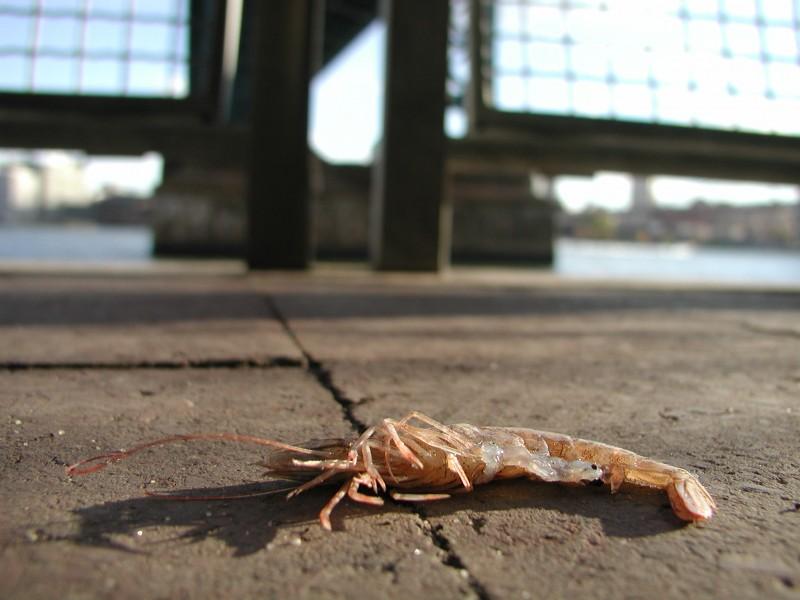shrimpy2